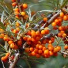 What Is Seabuckthorn? 沙棘是什麼? Why is SNE Seabuckthorn Unique?