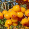 The Medicinal Research and Development of Seabuckthorn 植物珍品 神奇果王 – The Fruits of Seabuckthorn contained more than 190 kinds of bio-active substances