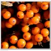Seabuckthorn – the Miracle Fruit 神奇的圣果: 沙棘
